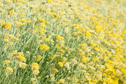 Helichrysum italicum field blooming closeup