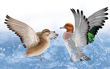 couple canard siffleur,  canard, oiseau, eau, joyeux, fraicheur, goutte, giclé d'eau nature, animal, faune, lac,