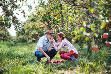 A senior couple picking apples in orchard in autumn, having fun.