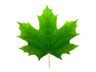 beautiful green maple leaf isolated on white background