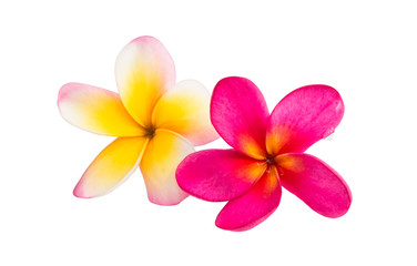 frangipani flowers isolated