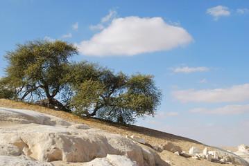 Wall Mural - flowering acacia in Sahara, Egypt