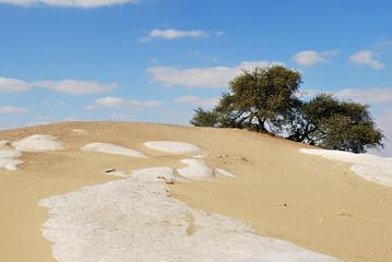 Fototapete - flowering acacia in Sahara, Egypt