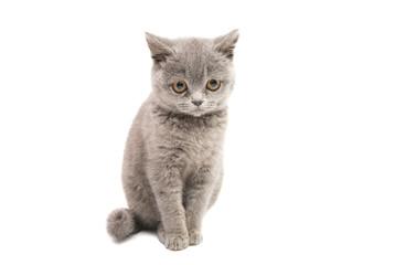 gray kitten isolated