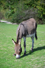 home donkey grazing on the green lawn