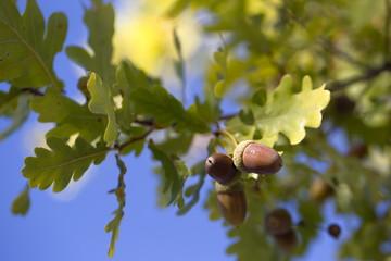 Eichenbaum mit
