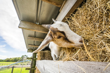 Goat eating hay on a rural farm