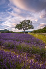 Lavender fields surround a lone tree in southern France