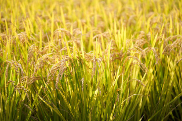 Rice Plant In The Morning