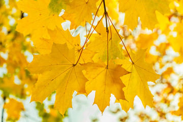 A maple branch with gold and yellow carved leaves on a blurred white and yellow background