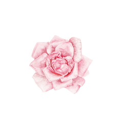 A vintage style watercolor drawing of tender rose on white. Can be used as a vingnette or border for a wedding invitation or birthday card design