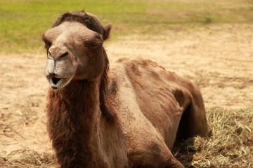Camel resting on ground