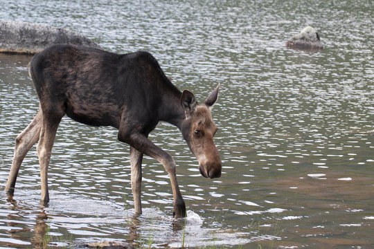 North American Moose in Baxter State Park Maine, USA