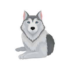Flat vector icon of lying Siberian husky. Dog with gray coat and blue shiny eyes. Element for poster of zoo store or kennel club