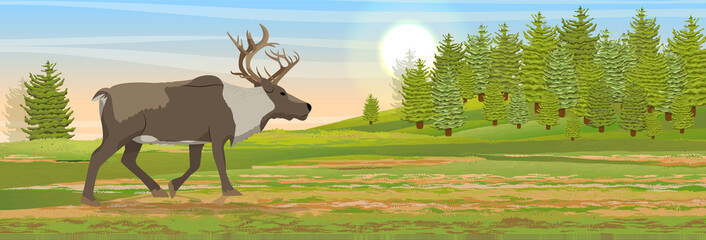 Wild reindeer in the tundra. Spruce coniferous forest. Animals of Russia, Canada, USA, Scandinavia and Iceland. Landscape north in summer