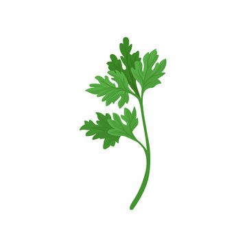 Sprig of parsley with bright green aromatic leaves. Natural ingredient for flavoring dishes. Flat vector icon