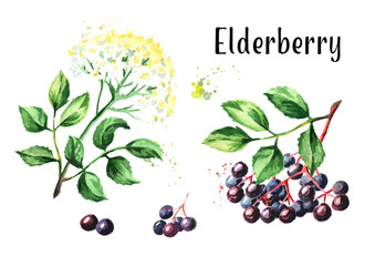 Elder flower blossom and elderberry set. Watercolor hand drawn illustration, isolated on white background