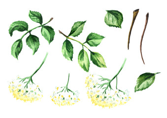 Elderflower elements. Watercolor hand drawn illustration