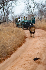 Male adult lion followed by a tourist 4x4 jeep. Kapama private game reserve near the Kruger national park. South Africa