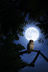 Fototapete - A quiet night, a bright moon rising over the clouds illuminates the darkness, and a Barred Owl sits motionless in the blue moonlight.