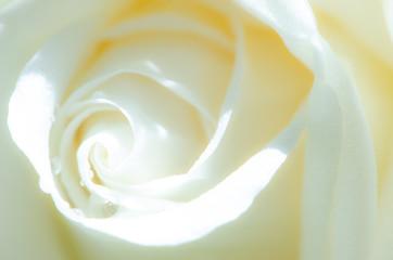 Macro Shot of water drop on white Rose