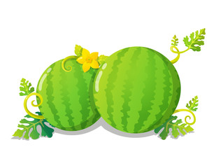 Colorful watermelons with yellow flower, leaves and vines. Vector illustration isolated on white background.