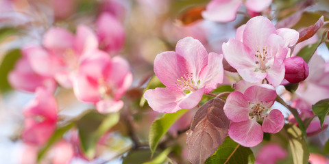 apple branch with beautiful bright and delicate pink flowers