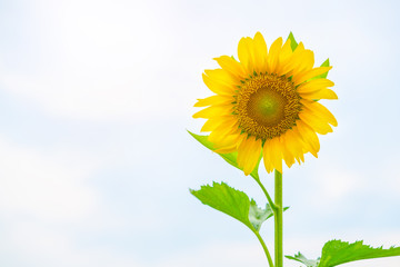 Sunflower on light sky background