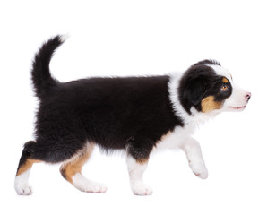 Playful Australian Shepherd purebred puppy, 2 months old looking away. Happy black Tri color Aussie dog, isolated on white background.