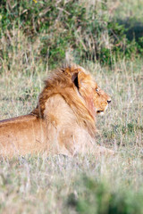 Big male lion lying in the grass