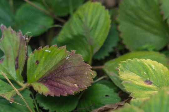diseases of the leaves of strawberries