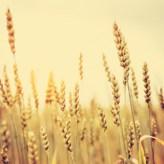 backdrop. of ripening spikelets of golden wheat field on the sunset.