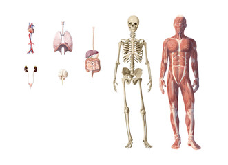 Digital watercolor  human body anatomy