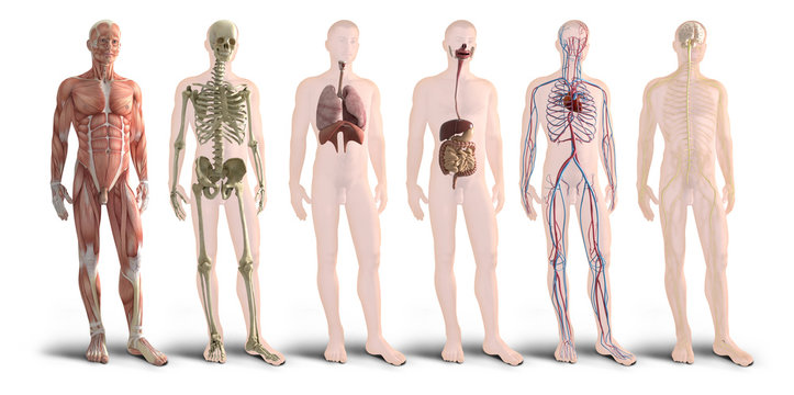 Digital 3d render of human body organs