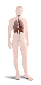 Digital 3d render of human body organs