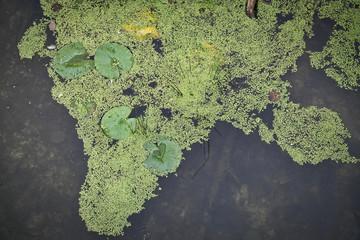 Von oben gesehen Seerosen und Wasserlinsen im Teich
