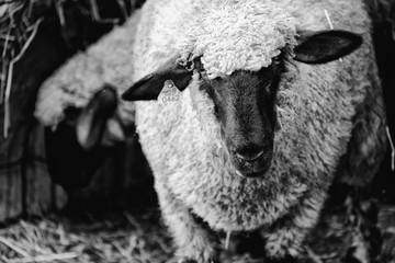 Wall Mural - Black and white Shropshire sheep portrait, of farm animal looking at camera.