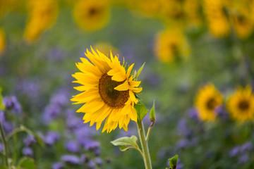 Sonnenblume in lila Feld
