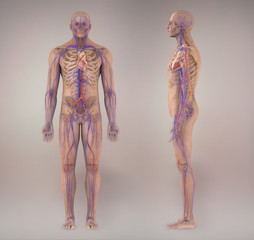 Circulatory system medical illustration