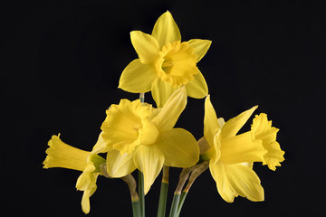 Foto op Canvas Narcis DAFFODIL IN BLACK BACKGROUND