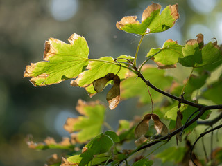 Autumn maple leaves on a branch in the sunlight. Maple leaf closeup. Wall mural