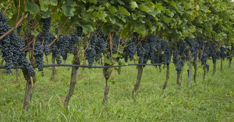 plants full of clusters of blue and red grapes, ready to be harvested during harvest, to produce Merlot wine, lake of Garda, autumn, Alps, Lombardy, Italy