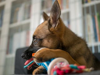 Small brown puppy playing with a toy. Puppy and toy. Small dog playing with color toy.