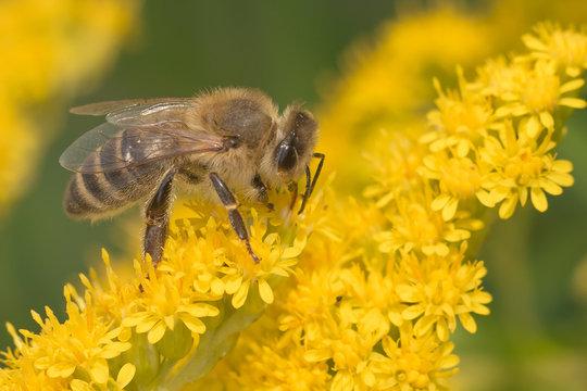 Super macro photo of wasp pollinate beautiful yellow flowers