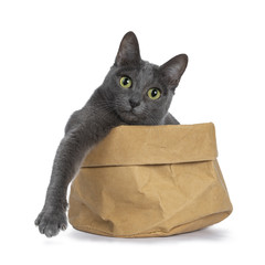 Silver tipped blue adult Korat cat sitting in brown paper bag with one paw hanging over edge and looking straight at camera with green eyes, isolated on white background
