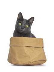 Silver tipped blue adult Korat cat sitting in brown paper bag  and looking straight at camera with green eyes, isolated on white background