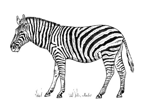 African Zebra Wild animal on white background. striped black white horse. Engraved hand drawn Vintage monochrome sketch. Vector illustration for label. safari symbol.