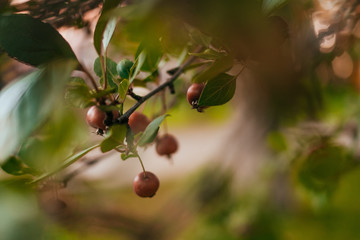 Red malus apples on a tree in garden in the fall. Decorative paradise apple tree branch with fruits.