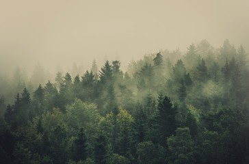 Wall Mural - Foggy Summer Forest