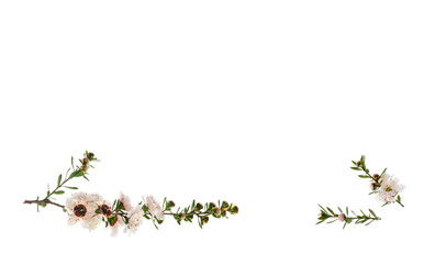 closeup of white manuka tree flowers isolated on white background with copy space above